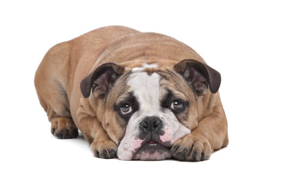 Pet Custody in a Divorce
